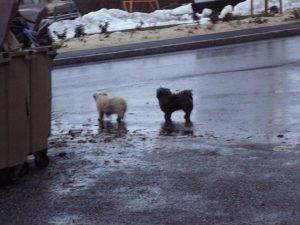 vagabondage chiens